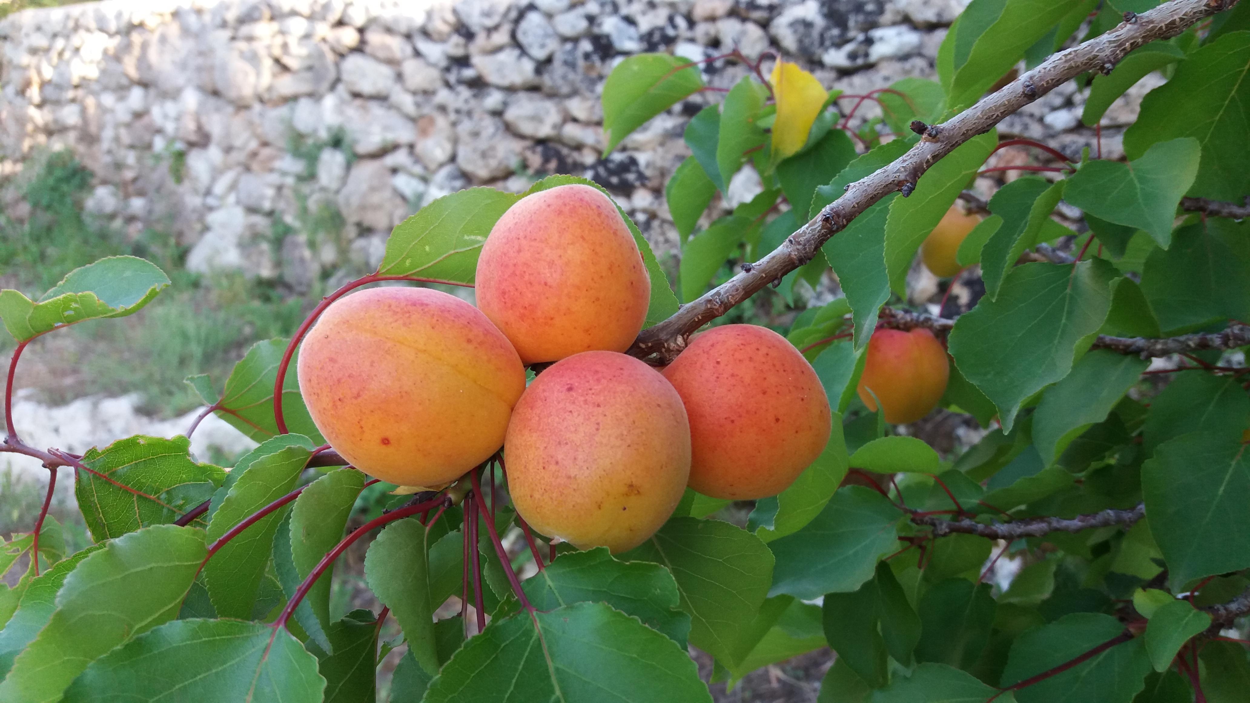 BioMasseria Santa Lucia produzione di albicocche